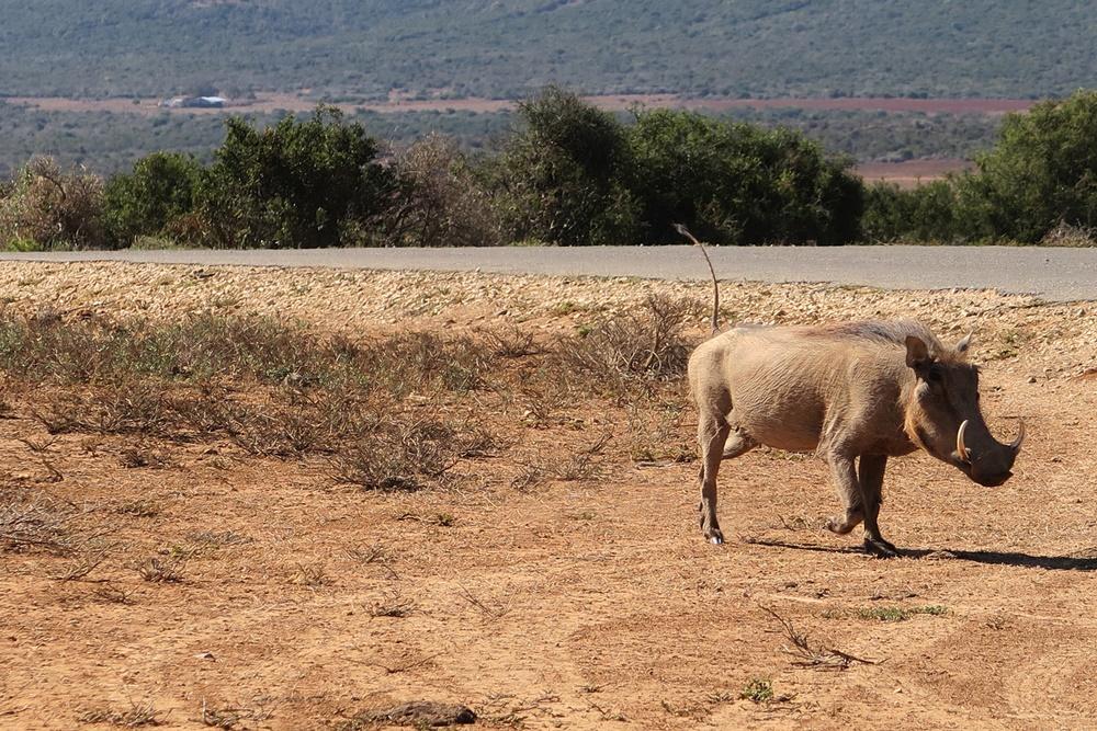 Addo Elephant Nationalpark IMG_7181 (20)
